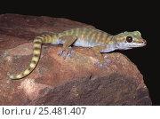 Gravid female Giant cave gecko {Pseudothecadactylus lindneri lindneri} NT, Australia. Стоковое фото, фотограф Robert Valentic / Nature Picture Library / Фотобанк Лори