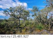 Banksia heathland habitat, Moore River NP, Western Australia, фото № 25481927, снято 29 марта 2017 г. (c) Nature Picture Library / Фотобанк Лори