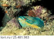 Купить «Princess parrotfish sleeping in mucous bubble {Scarus taeniopterus} Virgin Is,», фото № 25481983, снято 10 июля 2020 г. (c) Nature Picture Library / Фотобанк Лори