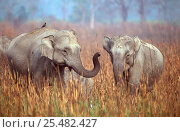 Купить «Indian elephants interacting {Elephas maximus} Kazaringa NP, India Assam», фото № 25482427, снято 3 апреля 2020 г. (c) Nature Picture Library / Фотобанк Лори