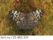 Купить «Clacker butterfly portrait {Hymadryas sp} tropical dry forest, Costa Rica», фото № 25483331, снято 20 сентября 2019 г. (c) Nature Picture Library / Фотобанк Лори