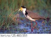 Купить «Masked plover {Vanellus miles} Queensland, Australia», фото № 25483551, снято 21 ноября 2019 г. (c) Nature Picture Library / Фотобанк Лори