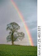 Купить «English elm tree silhouette {Ulmus procera} + rainbow. UK», фото № 25483831, снято 15 августа 2018 г. (c) Nature Picture Library / Фотобанк Лори