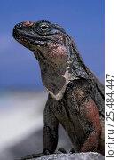 Купить «Allen's cay rock iguana {Cyclura cychlura inornata} Bahamas», фото № 25484447, снято 3 апреля 2020 г. (c) Nature Picture Library / Фотобанк Лори