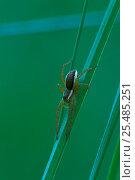 Купить «Raft spider juvenile on grass {Dolomedes fimbriatus} Belgium», фото № 25485251, снято 25 апреля 2018 г. (c) Nature Picture Library / Фотобанк Лори