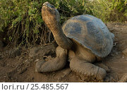 Galapagos Giant tortoise {Geochelone elephantopus} Galapagos Is. Стоковое фото, фотограф Pete Oxford / Nature Picture Library / Фотобанк Лори