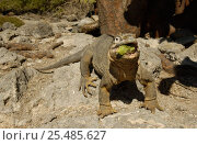 Купить «Land Iguana eating cactus fruit {Conolophus subcristatus} South Plaza Island, Galapagos», фото № 25485627, снято 23 марта 2019 г. (c) Nature Picture Library / Фотобанк Лори