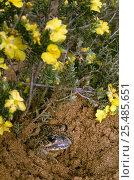 Купить «Eastern banjo frog burrowing in sand {Lymnodynastes dumerilii} Australia», фото № 25485651, снято 26 мая 2019 г. (c) Nature Picture Library / Фотобанк Лори