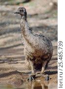 Emu folds legs to drink {Dromaius novaehollandiae} South Australia. Стоковое фото, фотограф John Cancalosi / Nature Picture Library / Фотобанк Лори
