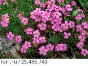 Купить «Moss campion in flower {Silene acaulis} Gran Paradiso NP, Alps, Italy», фото № 25485743, снято 22 октября 2018 г. (c) Nature Picture Library / Фотобанк Лори