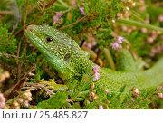 Green lizard portrait amongst heather {Lacerta viridis} W Europe,... Стоковое фото, фотограф John Cancalosi / Nature Picture Library / Фотобанк Лори