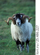 Купить «Swaledale sheep ram {Ovis aries} Cumbria UK», фото № 25486227, снято 15 августа 2018 г. (c) Nature Picture Library / Фотобанк Лори