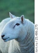 Купить «Cheviot sheep ram head portrait {Ovis aries} Cumbria UK», фото № 25486275, снято 15 августа 2018 г. (c) Nature Picture Library / Фотобанк Лори