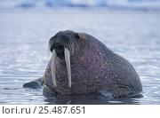 Купить «Walrus in sea {Odobenus rosmarus} Svalbard, Spitzbergen, Norway», фото № 25487651, снято 18 ноября 2018 г. (c) Nature Picture Library / Фотобанк Лори