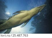 Saltwater crocodile underwater {Crocodylus porosus} Kakadu NP, NT, Australia. Стоковое фото, фотограф Michael Pitts / Nature Picture Library / Фотобанк Лори