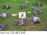Купить «Feral pigeons (rock dove) {Columba livia} feeding beside 'Do not feed the pigeons' sign, Regents Park, London, UK», фото № 25487939, снято 19 августа 2018 г. (c) Nature Picture Library / Фотобанк Лори