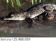 Saltwater crocodile hatchling on adult's head {Crocodylus porosus} NT, Australia. Стоковое фото, фотограф Michael Pitts / Nature Picture Library / Фотобанк Лори