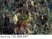 Bromeliad + Epiphytic growth on trees, Manu cloud forest, Peru (2000 to 3500m), фото № 25488847, снято 25 сентября 2017 г. (c) Nature Picture Library / Фотобанк Лори