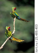 Купить «Two Military macaws {Ara militaris} Pongo, Urubamba river, Amazonia, Peru», фото № 25489403, снято 24 марта 2019 г. (c) Nature Picture Library / Фотобанк Лори