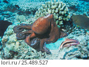 Купить «Common reef / Day octopus {Octopus cyaneus} hunting for crustaceans and fish on coral reef, Andaman Sea, Thailand», фото № 25489527, снято 22 октября 2018 г. (c) Nature Picture Library / Фотобанк Лори
