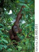 Wild male Orang utan feeding in canopy {Pongo pygmaeus} Danum valley, Sabah, Borneo. Стоковое фото, фотограф Nick Garbutt / Nature Picture Library / Фотобанк Лори