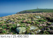 Купить «Lundy island, Devon, UK with Sea pinks and lighthouse.», фото № 25490583, снято 21 июля 2018 г. (c) Nature Picture Library / Фотобанк Лори