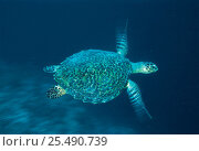 Купить «Hawksbill turtle {Eretmochelys imbricata} swimming, Indo Pacific», фото № 25490739, снято 31 мая 2020 г. (c) Nature Picture Library / Фотобанк Лори