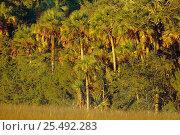 Купить «Sabal palms {Sabal palmetto} at edge of salt marsh. Timucuan, Florida, USA», фото № 25492283, снято 19 августа 2018 г. (c) Nature Picture Library / Фотобанк Лори