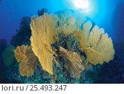Купить «Gorgonia fan coral {Subergorgia mollis} Great Barrier Reef, Queenland, Australia», фото № 25493247, снято 22 февраля 2019 г. (c) Nature Picture Library / Фотобанк Лори