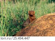 Dwarf mongoose alpha male {Helogale parvula} foraging. Tsavo East NP, Kenya. Стоковое фото, фотограф Jabruson / Nature Picture Library / Фотобанк Лори