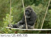 Купить «Male Western lowland gorilla {Gorilla gorilla gorilla} sitting on platform in enclosure, Port Lympne, UK», фото № 25495735, снято 16 января 2018 г. (c) Nature Picture Library / Фотобанк Лори