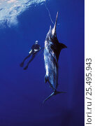 Купить «Diver approaching Black marlin {Makaira indica} caught on longline fishing hook, Cocos Island, Costa Rica, Pacific Ocean, WHS Model released.», фото № 25495943, снято 24 февраля 2018 г. (c) Nature Picture Library / Фотобанк Лори