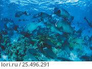 Купить «Shoal of Bumphead parrotfish {Bolbometopon muricatum} feeding at coral reef, Sulu-sulawesi seas, Indo-Pacific», фото № 25496291, снято 10 июля 2020 г. (c) Nature Picture Library / Фотобанк Лори