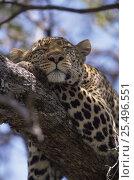 "Купить «Female Leopard {Panthera pardus} ""Shadow"" sleeping in tree, Big Cat Diary, Masai Mara NR, Kenya.», фото № 25496551, снято 25 июня 2018 г. (c) Nature Picture Library / Фотобанк Лори"