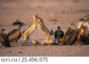 Купить «Black backed jackals fight over carcass {Canis mesomelas} Etosha NP, Namibia», фото № 25496975, снято 17 августа 2018 г. (c) Nature Picture Library / Фотобанк Лори