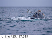 Купить «Gull approaching Southern right whale {Balaena glacialis australis} to peck at wounds. Peninsula Valdez, Patagonia, Argentina», фото № 25497319, снято 17 августа 2018 г. (c) Nature Picture Library / Фотобанк Лори