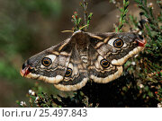 Small emperor moth female {Saturnia pavonia} Kalmthoutse Heide, Belgium. Стоковое фото, фотограф Bernard Castelein / Nature Picture Library / Фотобанк Лори
