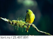 Купить «Orange bellied parrot male {Neophema chrysogaster} Tasmania, Australia. Critically Endangered South West world heritage wilderness», фото № 25497891, снято 7 декабря 2019 г. (c) Nature Picture Library / Фотобанк Лори