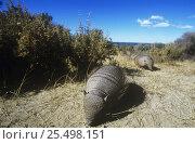 Купить «Hairy armadillo {Chaetophractus villosus} pair foraging, Valdez, Patagonia, Argentina», фото № 25498151, снято 19 июня 2018 г. (c) Nature Picture Library / Фотобанк Лори