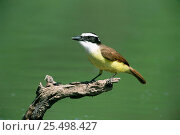 Купить «Great kiskadee {Pitangus sulphuratus} profile on branch, Texas, USA.», фото № 25498427, снято 21 августа 2018 г. (c) Nature Picture Library / Фотобанк Лори