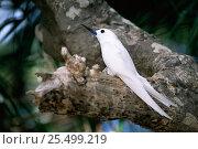 Купить «White / Fairy tern {Gygis alba} perched in tree, Australasia.», фото № 25499219, снято 18 августа 2018 г. (c) Nature Picture Library / Фотобанк Лори