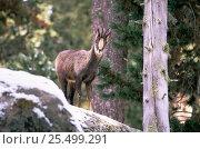 Pyrenean chamois {Rupicapra rupicapra pyrenaica} Pyrenees, Spain. Стоковое фото, фотограф Dave Watts / Nature Picture Library / Фотобанк Лори