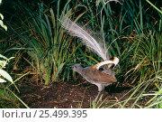 Купить «Superb lyrebird display {Menura novaehollandiae} SE Australia», фото № 25499395, снято 27 февраля 2020 г. (c) Nature Picture Library / Фотобанк Лори