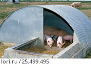 Купить «Domestic piglets in open pig sty {Sus scrofa domestica} Wiltshire, UK. Free range», фото № 25499495, снято 21 июля 2018 г. (c) Nature Picture Library / Фотобанк Лори
