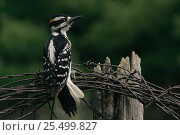 Купить «Hairy woodpecker {Picoides villosus} rear view perching on barbed wire, USA.», фото № 25499827, снято 19 августа 2018 г. (c) Nature Picture Library / Фотобанк Лори