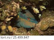 Купить «Princess parrotfish sleeping {Scarus taeniopterus} Caribbean», фото № 25499847, снято 10 июля 2020 г. (c) Nature Picture Library / Фотобанк Лори