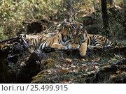 Купить «Sub-adult Bengal tigers resting {Panthera tigris tigris} Bandhavgarh NP, Madhya Pradesh, India», фото № 25499915, снято 20 февраля 2020 г. (c) Nature Picture Library / Фотобанк Лори