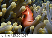 Pink anemonefish amongst anemone tentacles {Amphiprion perideraion} Yap, Micronesia. Стоковое фото, фотограф Michael Pitts / Nature Picture Library / Фотобанк Лори