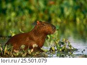 Capybara feeding in wetlands {Hydrochoerus hydrochaeris} Pantanal, Brazil. Стоковое фото, фотограф Pete Oxford / Nature Picture Library / Фотобанк Лори