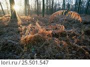 Autumnal sunrays fall on frosty ferns in woodland, Peerdsbos, Brasschaat, Belgium, Europe, фото № 25501547, снято 25 сентября 2017 г. (c) Nature Picture Library / Фотобанк Лори